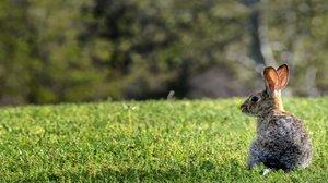 El conejo causó estragos en Australia