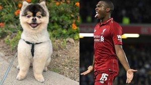 Sturridge ya ha recuperado a su perro