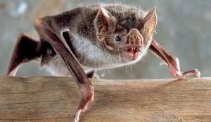 Estos murciélagos de Japón y Camboya tenían los primeros coronavirus hallados fuera de China
