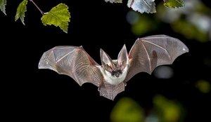 El origen del coronavirus se encontraría en el murciélago y el pangolín