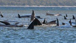 Más de 450 balledas quedan varadas en las aguas de Tasmania