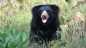 Arrestan a un cazador furtivo por comerse los penes de los osos lippus en India | Google