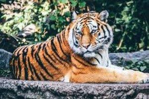 El coronavirus afecta a un tigre del zoo de Nueva York