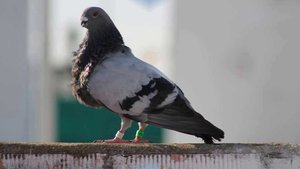 Tres jóvenes secuestran un palomo y piden 50€ de rescate por él