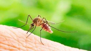 Nuevo mosquito portador de diferentes virus llega al norte de España