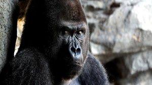 Un gorila de 200 kilos ataca a su cuidadora en el zoo de Madrid