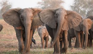 Cerca de 300 elefantes aparecen muertos en Botsuana de manera misteriosa