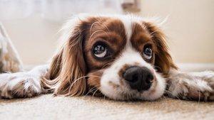 ¿Cómo saber si un perro tiene fiebre?