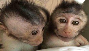 Un grupo de monos roba en la India muestras de sangre con coronavirus