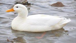 Los patos, difusores de especies extranjeras