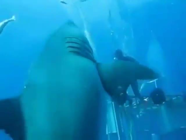 Unos buzos graban al mayor tiburón blanco hasta la fecha